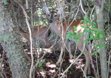 When Did Deer Return To Rhode Island